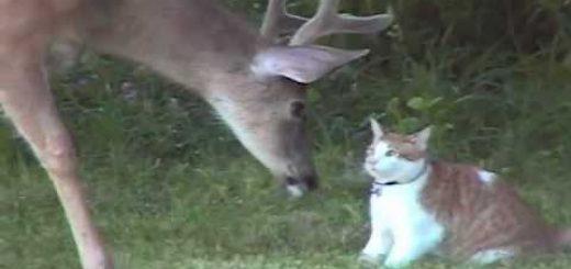 鹿さんにへっぴり腰の茶白猫、喉元過ぎればシッポにちょっかい