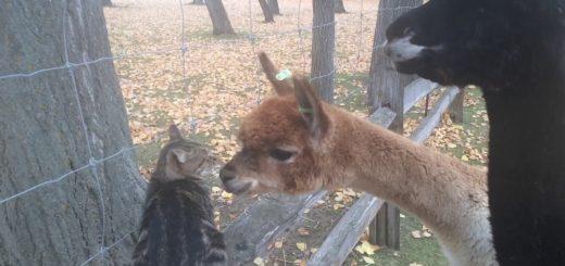 かわいいが故に困惑させられる猫、アルパカたちに迫られて