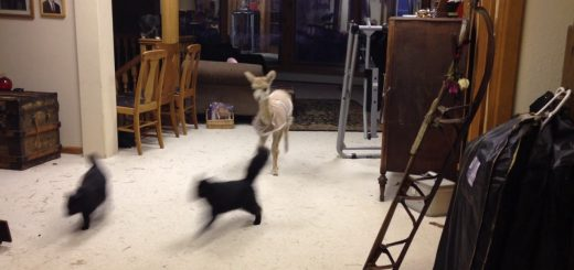 鬼さんこちらと逃げる黒猫、飼いアルパカとの鬼ごっこ