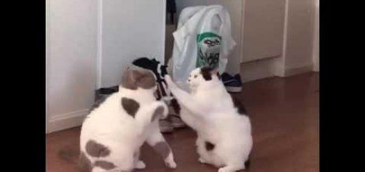 無慈悲な猫のソフトな喧嘩、ギャラリー無視して殴り合う