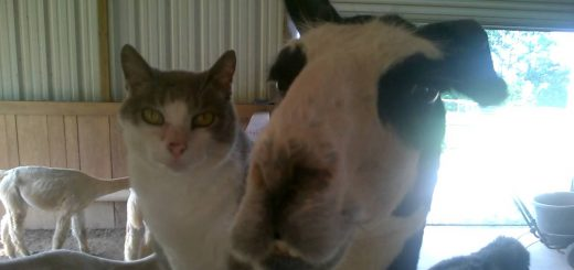 猫とラマの静かで激しき相思相愛、カメラの前でも片時も離れず