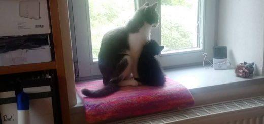 新入りの子猫を優しく舐める猫、家人に見られて素知らぬふり
