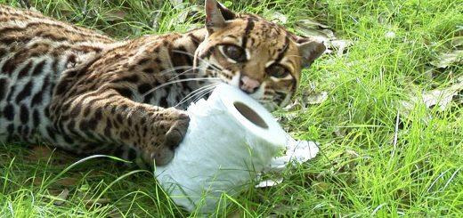 大きめの猫科にあの紙を見せたなら、イエネコと同じく童心に返る