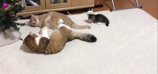 殴り合う2匹の間に無邪気な子猫、割って入ってゴロンと仲裁