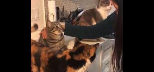 3匹の猫の連続ハイタッチチャレンジ、最後の最後で断固拒否