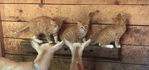 茶トラの子猫の3兄弟、連れ立ちヤギ小屋大冒険