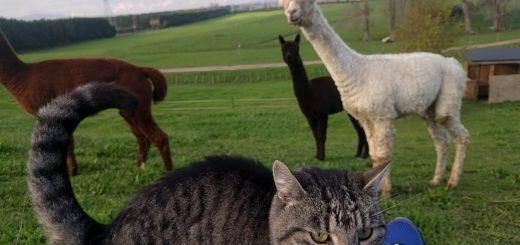 カリカリを巡って勃発「猫対アルパカ」、わずか1秒で猫の圧勝