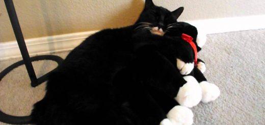 ぬいぐるみみたいな猫は抱き締める、同じ柄の猫のぬいぐるみ