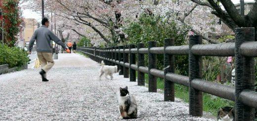 道端の猫と眺める散り桜、吹雪く桜に誰もが春めき