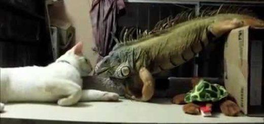 目が覚めた鼻の先にはイグアナが、寝ぼける白猫まさかの二度寝
