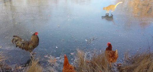 2本脚のニワトリvs4本脚の猫、氷上の芸術点はどちらに軍配が