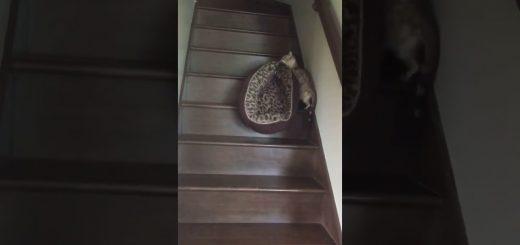 ヒョウ柄のベッドを2階へ運ぶヒョウ柄猫、我が子を咥えているかのように