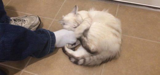足指で猫がよろこぶマッサージ、されてる猫がする側に