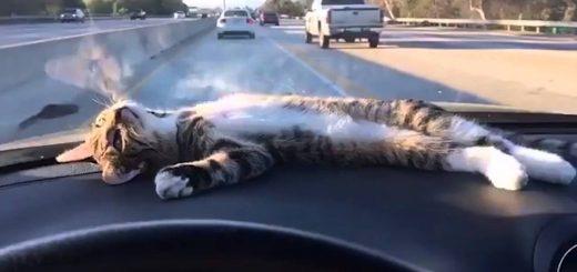 ダッシュボードをベッドに腹を丸出しに、猫は眺める流れる空を