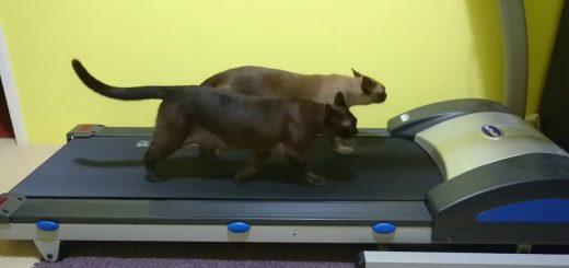 ルームランナーへ代わる代わるに乗り歩く猫、最後は仲良く同行二人