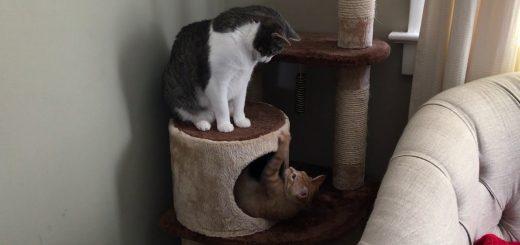 見つめ合う2匹の猫の戦いの、その決まり手は腰砕け