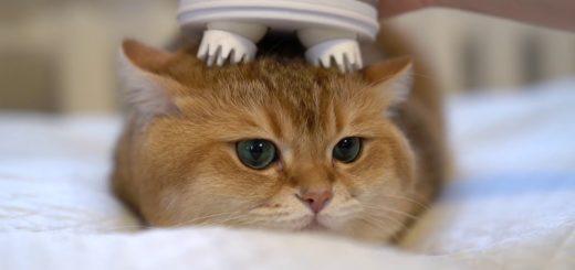 ヘッドマッサージ機に揉まれる猫、意外な刺激に目を丸く