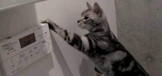 使命感に駆られてトイレを流す猫、流れる音に満足げな顔