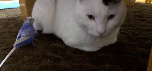 ぎこちなくインコをなでる白黒猫、最後は口づけ仲好し小好し