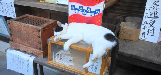 御利益あらたか神社のおみくじ、もれなく猫との触れ合いも