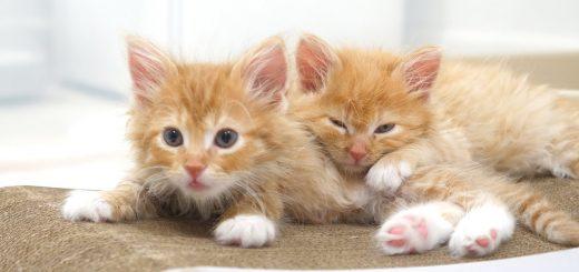 3匹の子猫喜ぶお掃除タイム、めくったシーツにコロコロ転げて
