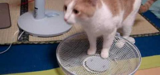 扇風機の金網の丸みをチェックする猫、1年に2回の季節のお役目