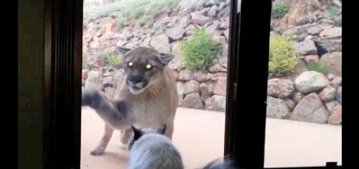 大きめの侵入猫と対峙する猫、にらみ合いの末勝利を収める