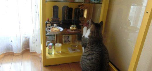 立ち並ぶ位牌の前でお座りする猫、朝昼晩とお鈴を鳴らし