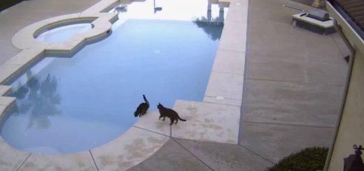 水を飲む猫の後ろに迫る猫、予想に違わぬピタゴラ展開
