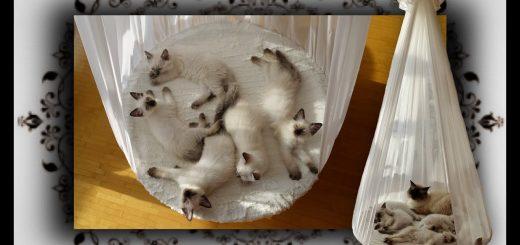 ハンモックベッドで熟睡子猫たち、回され揺らされ眠らされ