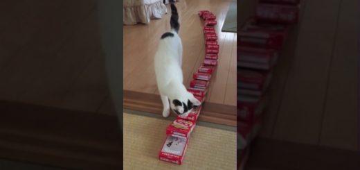 鼻触れてドミノ倒しのビスコの箱、責任察して猫は固まる