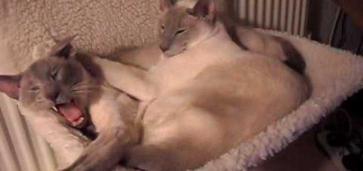 温々と一心同体シャム猫ボーイズ、起きると見せてそのまま二度寝