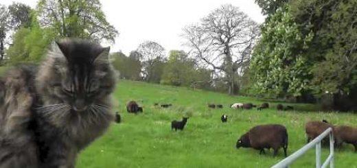 圧倒的貫禄漂う猫のシェパード、羊に紛れて叢に遊ぶ