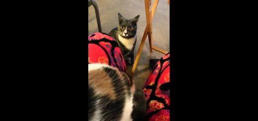 三毛猫にその場所譲れと迫る猫、抱きつき噛みつき甘え鳴き