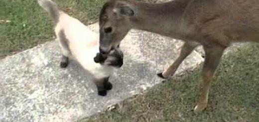 猫への愛を伝える鹿の毛づくろい、猫はしっかと全身で受けとめ