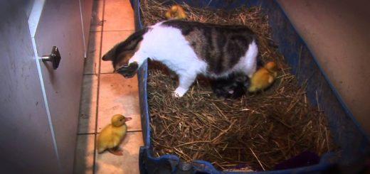 猫の母さん育児に繁忙、孤児のアヒルもまとめて保育