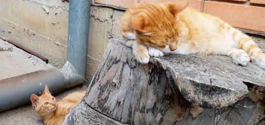 猫である故に昼寝を邪魔される猫、シッポが引き金ピタゴラスイッチ