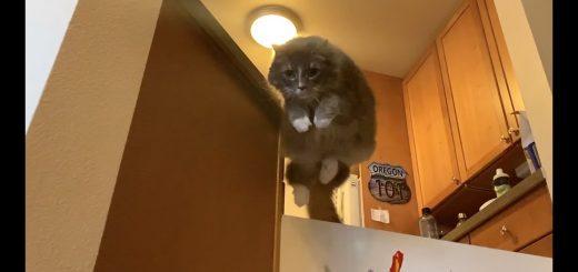 ダンディな猫はジャンプで壁を越え、三毛猫飛ばずに壊して通る