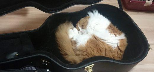 ジャストサイズのギターケースを寝床にする猫、頭とお尻をフィットさせ