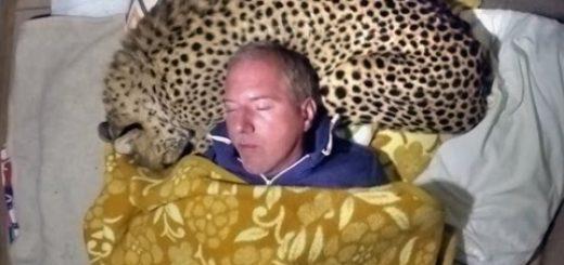 大形のネコ科を枕に添い寝する、人類の夢をここに体現