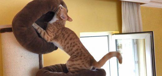 猫ベッドを2つ重ねた至極のベッド、猫は自ら設える