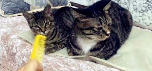 櫛の歯の面妖な音に舌を出す、猫もいれば出さない猫も