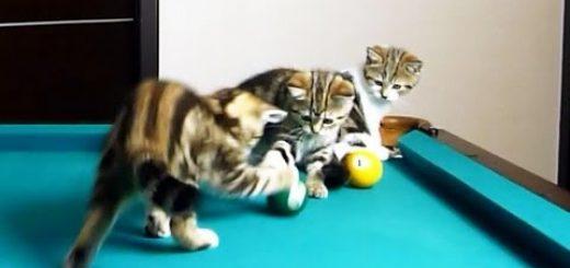 最高の子猫専用遊技場、ビリヤード台は遊びの宝庫