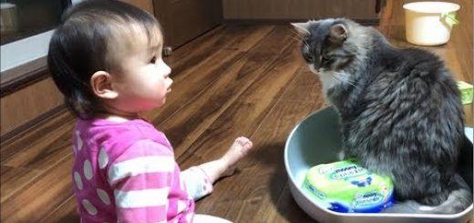 猫用のタライを巡る平和な争い、赤子と猫で譲り譲られ