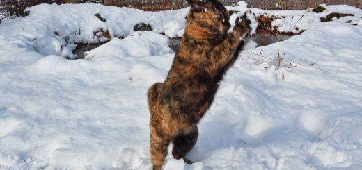 白銀の舞台に舞い跳ぶサビの猫、遊んではしゃいで駆け回る