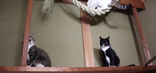 颯爽と注連縄に乗り四顧する猫、2匹のお供を従えて