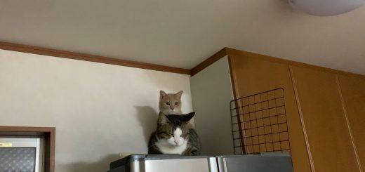 眠る猫の背後に隠れる茶トラ猫、睨みをきかせてカメラを威嚇