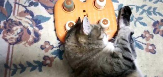 人間用のセルフ指圧器に遊ぶ猫、癒やしの刺激に猫背も伸びる