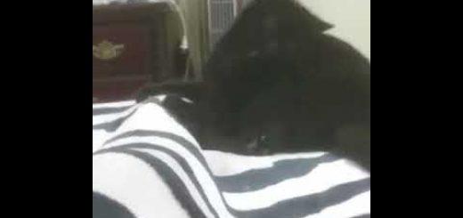 感情が高ぶり動きに現れた猫、芝居がかった噛みを披露
