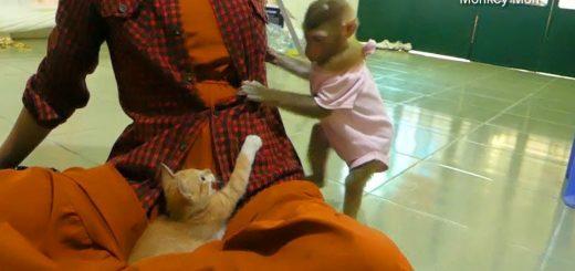 子猿と暮らす茶トラの子猫、ママの膝は絶対譲らないマンと化す